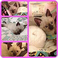 Adopt A Pet :: Cotton - Modesto, CA