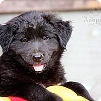 Adopt A Pet :: Maverick - Albany, NY