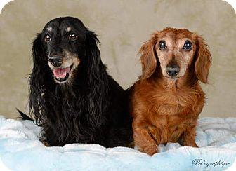 Dachshund Dog for adoption in Henderson, Nevada - Riley