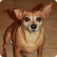Chihuahua Mix Dog for adoption in Buckeye, Arizona - Sonic