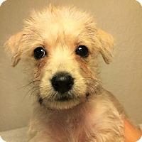 Adopt A Pet :: Sandy-Bryanna Pup - Encino, CA