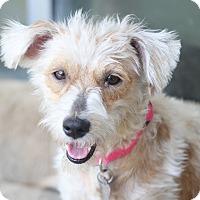 Adopt A Pet :: Louisa May - Norwalk, CT
