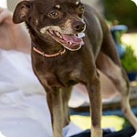 Adopt A Pet :: Luna - North Bend, WA