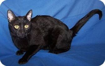 Domestic Shorthair Cat for adoption in Colorado Springs, Colorado - Swiss Roll