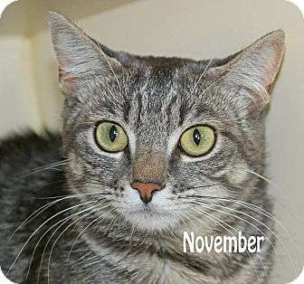 Domestic Shorthair Cat for adoption in Idaho Falls, Idaho - November