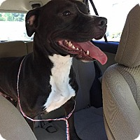 American Staffordshire Terrier/Labrador Retriever Mix Dog for adoption in Raleigh, North Carolina - Bella