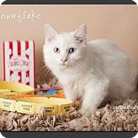 Adopt A Pet :: Snowflake - Gilbert, AZ