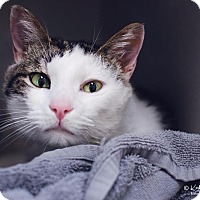 Domestic Shorthair Cat for adoption in Shoreline, Washington - Bailey