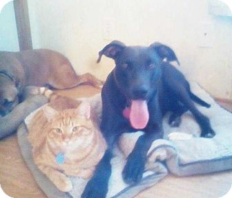 Labrador Retriever Mix Dog for adoption in Summerville, South Carolina - Cole