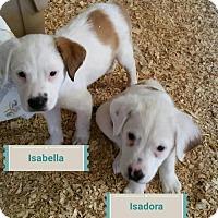 Adopt A Pet :: Isadora and Isabella - Granbury, TX