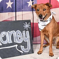 Adopt A Pet :: HONEY - Amherst, OH