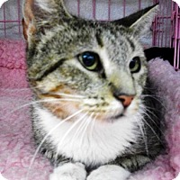 Domestic Shorthair Cat for adoption in Castro Valley, California - Ivy