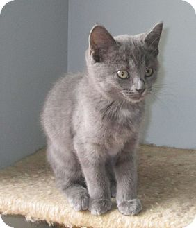 Domestic Shorthair Kitten for adoption in Covington, Kentucky - Morgan