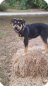 Shepherd (Unknown Type)/Labrador Retriever Mix Dog for adoption in Manchester, Connecticut - Rosie-pending adoption