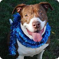 Pit Bull Terrier/Labrador Retriever Mix Dog for adoption in Burbank, California - Gwen
