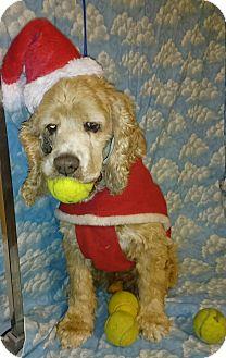 Cocker Spaniel Dog for adoption in Sugarland, Texas - Scotty