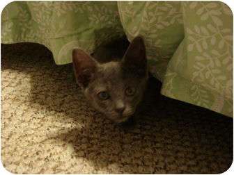 Domestic Shorthair Kitten for adoption in Orlando, Florida - Grayson