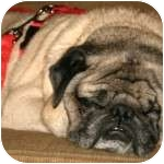 Pug Dog for adoption in Windermere, Florida - Buddy Jr