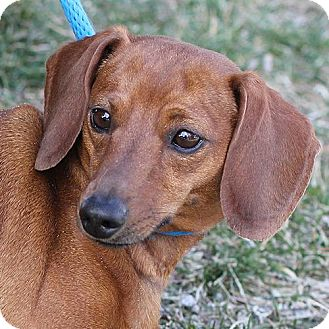 Dachshund Mix Dog for adoption in Springfield, Illinois - Liesel