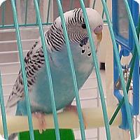 Adopt A Pet :: Bella - Shawnee Mission, KS