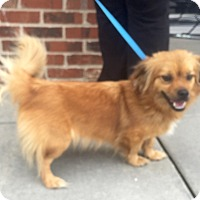Pekingese/Pomeranian Mix Puppy for adoption in Summerville, South Carolina - Muffin