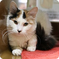 Adopt A Pet :: Gypsy Rose - Roseville, CA