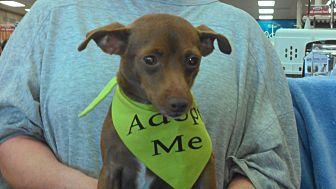 Miniature Pinscher/Chihuahua Mix Dog for adoption in Huntington Beach, California - Holly