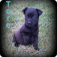 Adopt A Pet :: Toro - Denver, NC
