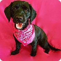 Adopt A Pet :: Shirley - Irvine, CA