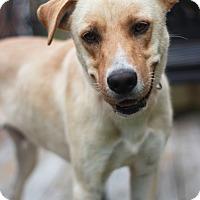 Adopt A Pet :: Bogart Boy - New Oxford, PA