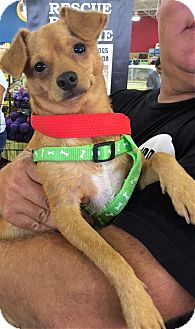 Chihuahua Mix Dog for adoption in Ft. Lauderdale, Florida - Ross