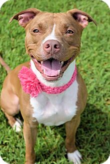 American Pit Bull Terrier Dog for adoption in Virginia Beach, Virginia - 1608-1723 Dazzle (Roxy)