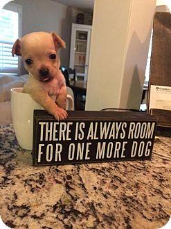 Chihuahua Mix Dog for adoption in Alpharetta, Georgia - VikingCruise