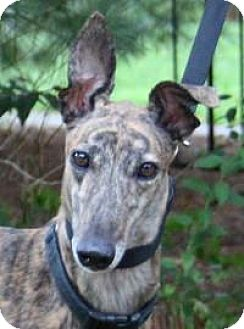 Greyhound Dog for adoption in Nashville, Tennessee - Julie