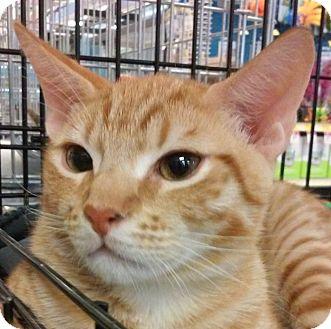 Domestic Shorthair Kitten for adoption in Yorba Linda, California - Garfield