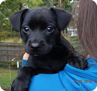 Labrador Retriever/Retriever (Unknown Type) Mix Puppy for adoption in Williamsport, Maryland - Shae (5 lb) Video!