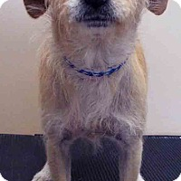 Chihuahua/Terrier (Unknown Type, Small) Mix Dog for adoption in Hinsdale, Illinois - Toni