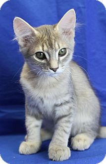 Domestic Mediumhair Kitten for adoption in Winston-Salem, North Carolina - Alphonso
