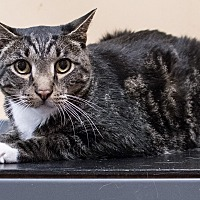Domestic Shorthair Cat for adoption in Staten Island, New York - Spencer