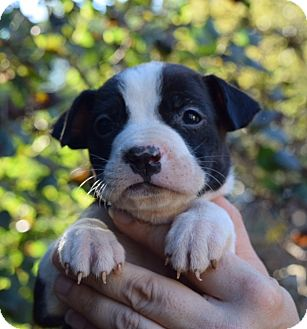Labrador Retriever/Beagle Mix Puppy for adoption in Bayshore, New York - Willy