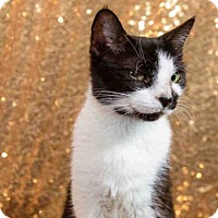 Domestic Shorthair Cat for adoption in Orlando, Florida - *MONICA