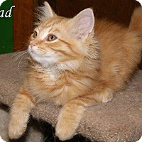 Manx Cat for adoption in Hartford City, Indiana - Jarrad