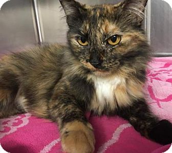 Domestic Mediumhair Cat for adoption in Voorhees, New Jersey - Fiona