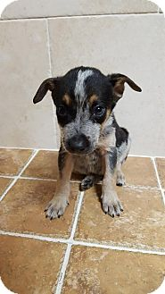 Cattle Dog Mix Puppy for adoption in Key Largo, Florida - Mike