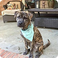 Whippet/Plott Hound Mix Puppy for adoption in Munford, Tennessee - Buckman