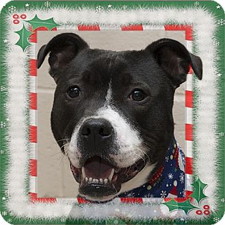 Labrador Retriever/Pit Bull Terrier Mix Dog for adoption in Troy, Ohio - Champ