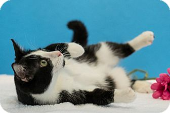 Domestic Shorthair Cat for adoption in Houston, Texas - Queso