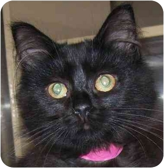 Domestic Longhair Kitten for adoption in Annapolis, Maryland - Charm