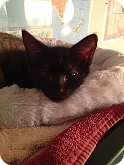 Domestic Shorthair Kitten for adoption in Richmond, Virginia - Bess