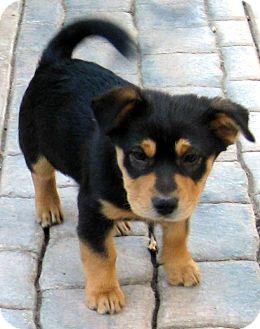 Rat Terrier Rottweiler Wwwpicturessocom
